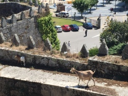 E3. Goats walking along the wall of the Fortaleza, Baiona 9.8.17.