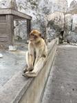 B1. Barbary Apes, Gib 15.10.17.