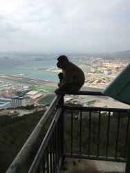 B4. Barbary Apes, Mum and child surveying Gib 15.10.17.