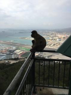 B4. Barbary Apes, Mum and child surveying Gib 15.10.17.