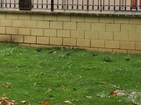 D2. Monk Parakeets in Fenguerola 18.10.17.