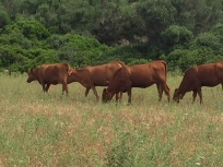 H3. Cows, Menorca 10.6.18.